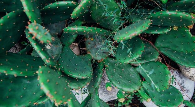 녹색 평면 선인장의 배경입니다. 가시가 많은 나뭇잎. 이국적인 식물의 질감.