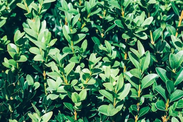 Sunligh에서 녹색 부시의 성장 된 부드러운 나뭇 가지의 배경. 선택적 초점. 따뜻한 여름 또는 봄날의 요정 숲