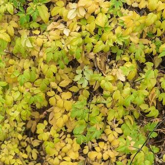 多数の紅葉の背景。植物の壁。