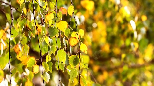暖かい色の秋の白樺の葉の背景