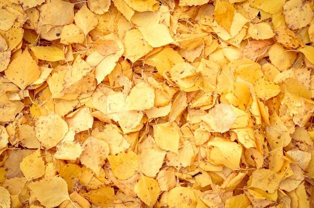 자작나무의 가을 낙엽의 배경. 땅에 노란색과 주황색 단풍. 평면도