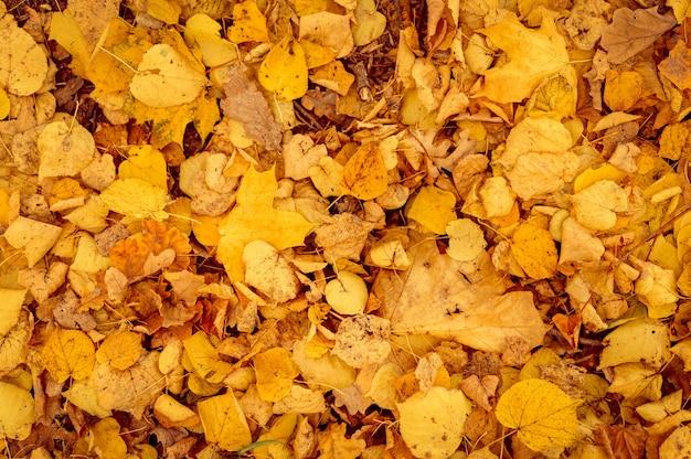 단풍나무와 자작나무의 가을 낙엽의 배경. 땅에 노란색과 주황색 단풍. 평면도
