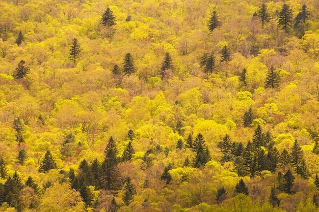 Фон осеннего леса с желтыми деревьями и зелеными елями.
