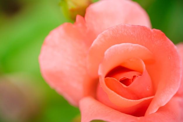 庭の美しいピンクのバラの背景をクローズアップ
