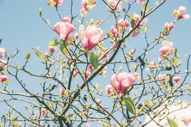 Фон цветущих магнолий. цветы. выборочный фокус.