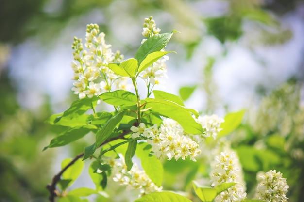 벚꽃의 개화 나무의 배경입니다. 꽃들. 선택적 초점.