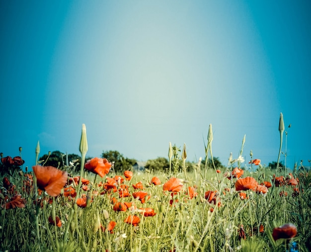 푸른 하늘과 붉은 양귀비, 필터가 있는 들판의 배경