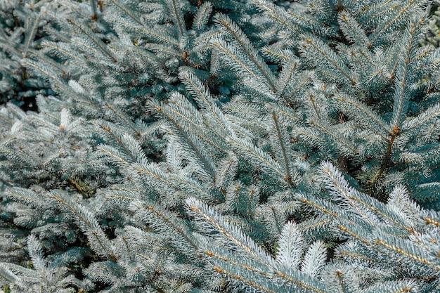 ブルースプルースの枝の背景。ブルースプルースと明るい針の枝の背景。