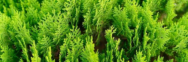 근접 촬영의 배경 아름 다운 녹색 크리스마스 thuja 나무의 나뭇잎. thuja occidentalis는 상록 침엽수입니다. 배너