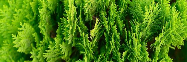 クローズアップの背景thujaの木の美しい緑のクリスマスの葉。 thujaoccidentalisは常緑の針葉樹です。バナー