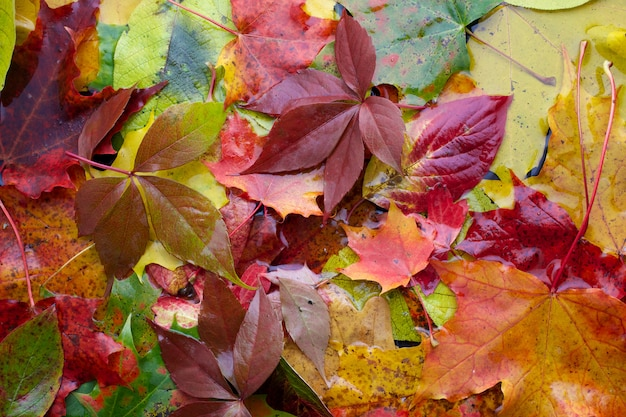 색깔의 젖은 오색 단풍의 배경은 아침에 나뭇잎