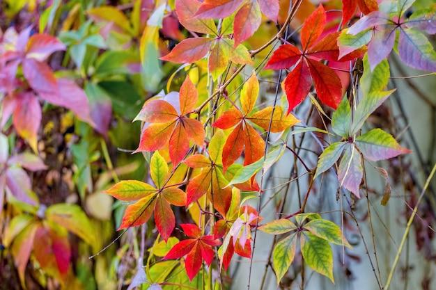 Фон красочных осенних листьев, свисающих
