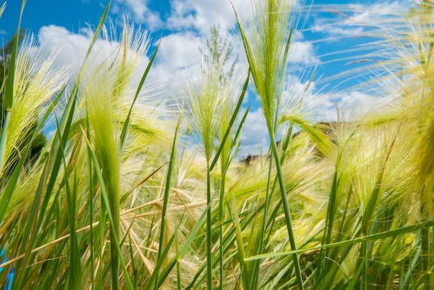 緑の大麦のクローズアップのふわふわ小穂の背景青い空と草