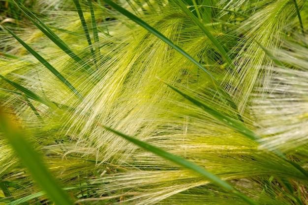 緑の大麦クローズアップのふわふわ小穂の背景