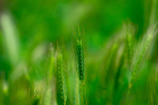 新鮮な春の背景緑の麦畑の穂がクローズアップ。