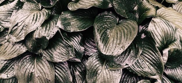 ユリの花の灰色の葉の背景。雨の中の濡れた葉の質感。