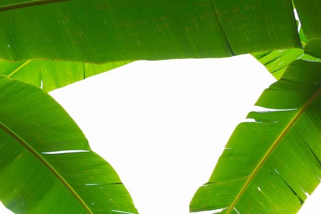 녹색 바나나 잎, 숲의 배경입니다.