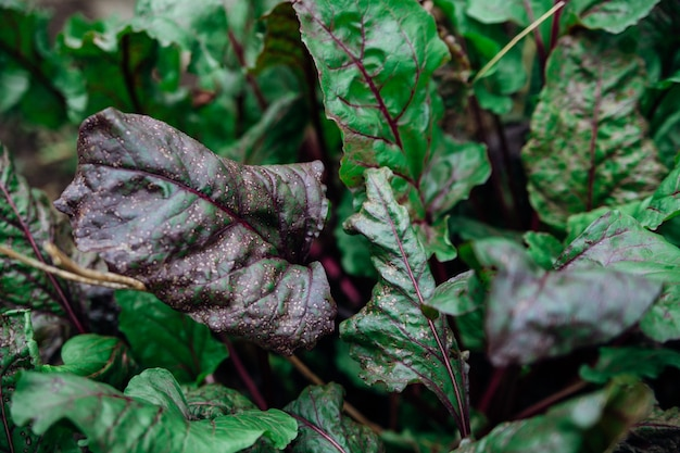 赤い茎を持つ緑のビートの葉の背景。斑点の葉のクローズアップ。自然な風合い。