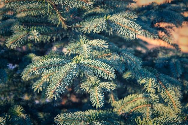 日光の下で雪と緑のモミの枝の背景。クリスマス冬のコンセプト
