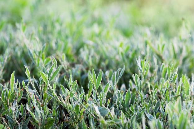 夏の朝に露に覆われた緑の草の背景