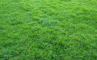 Background of green grass field. Green grass pattern and texture.