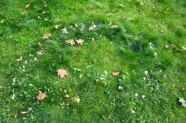 Фон зеленой травы с желтыми кленовыми листьями, лежащими на нем горизонтальной ориентации