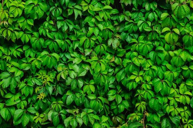 緑の葉の背景、植物が生い茂ったフェンス、中庭の装飾。