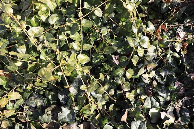 녹색 잎이 아이비 배경