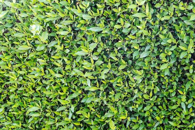 부시 대통령은 녹색 잎의 배경입니다. 녹색 식물의 질감