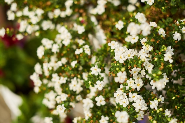 정원에서 작은 흰 꽃의 배경