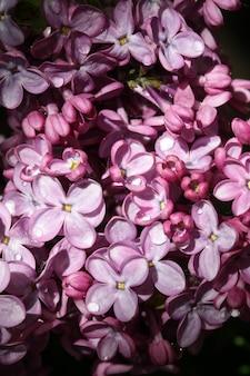 水滴のマクロ花紫ピンクライラックの背景