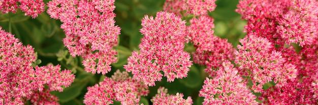 ピンクの花が咲く背景。セダムテレフィウム。バナー
