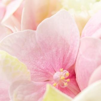 花のピンクの花アジサイまたはオルテンシアの背景