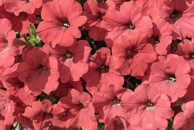 赤いペチュニアの花の背景花や植物