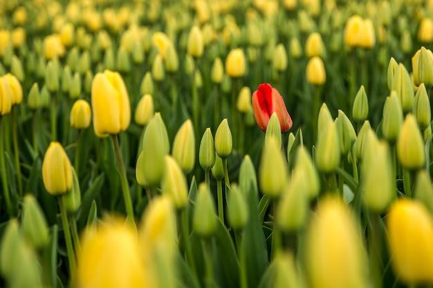 黄色のチューリップ畑の赤いチューリップの背景