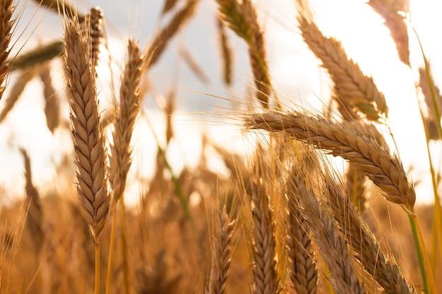 Фон из спелых желтых колосков пшеницы. поле перед сбором урожая на закате. частично размыто