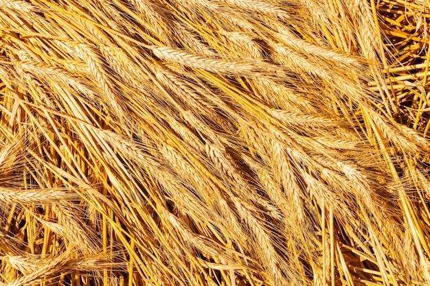 牧草地の麦畑の穂の成熟の背景。