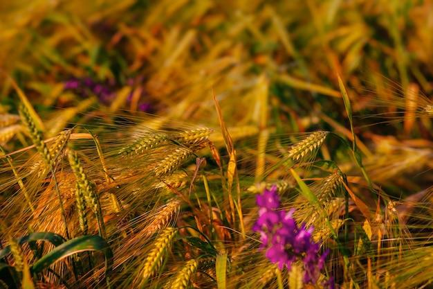 麦畑と花の成熟した穂の背景作物畑選択的焦点