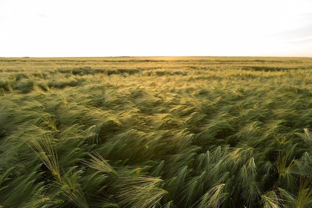 麦畑と日光の成熟した穂の背景。作物畑。セレクティブフォーカス