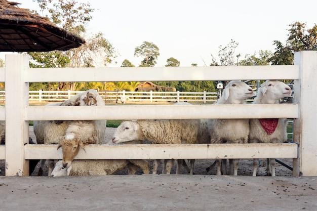 Фон овец в ферме.