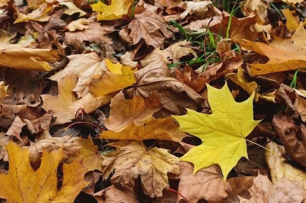 낙엽의 배경입니다. 마른 단풍과 하나의 신선한 노란 잎.