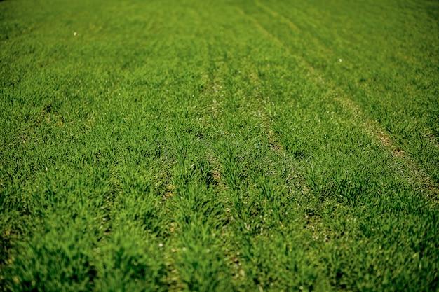 グリーンフィールドの背景。背景の緑の草のテクスチャ