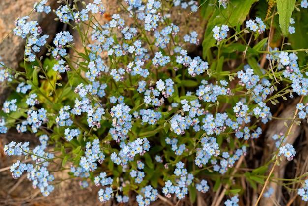 Фон множества красивых синих миозотисов. селективный фокус