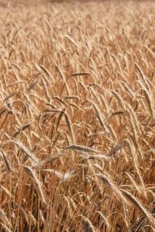 Фон пшеничного поля. выборочный фокус