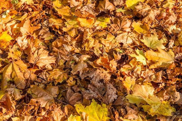 黄色の落ちたカエデの葉の背景