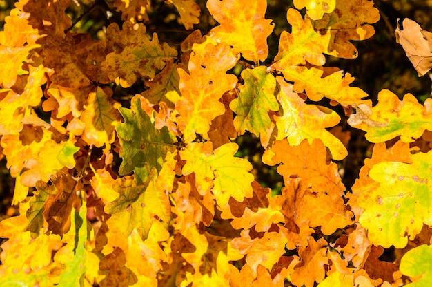 黄色いカシの葉の背景。秋のコンセプト