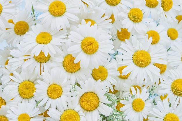 Фон из белых цветов ромашки. вид сверху