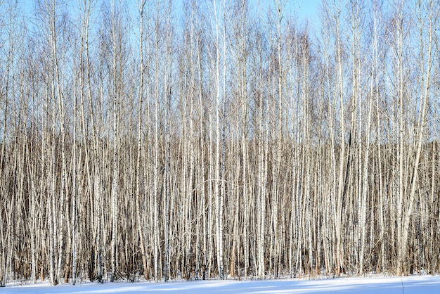 冬の日に葉のない白い若い白樺の背景