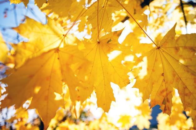 黄色のカエデの葉の背景。秋