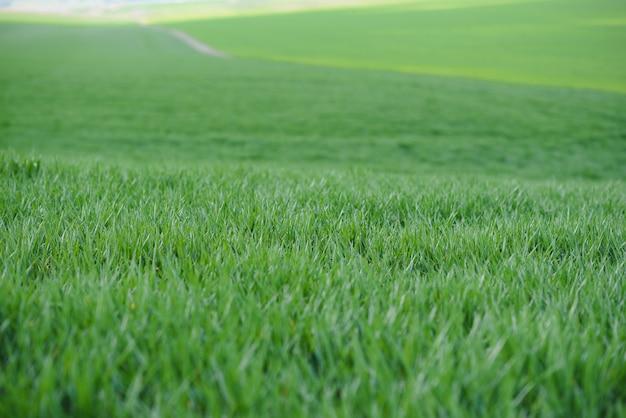 春の若い緑の小麦の背景